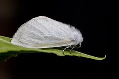 IMG_87702019_07_07 White Satin EOS 7D Mark II (Sugar Beet Pete) Tags: whitesatinmoth peterborough moth insect white
