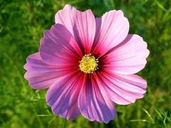 Schmuckkörbchen (Hannelore_B) Tags: blume flower schmuckkörbchen cosmos patternsinnature macromondays