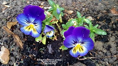Trinity Free Church gardens - Pansies flowering 13th July 2019 (D@viD_2.011) Tags: gardens free church july 2019 trinity