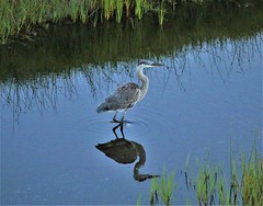 July15Image8863 (Michael T. Morales) Tags: heron greatblueheron blueheron pebblebeach silhouette reflection water bird reeds 17miledrive