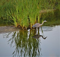 July15Image8886 (Michael T. Morales) Tags: heron greatblueheron blueheron pebblebeach silhouette reflection water bird reeds 17miledrive