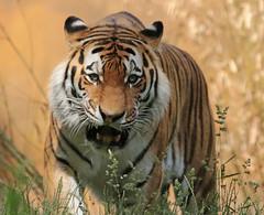 amurtiger Taymir Ouwehand 094A0691 (j.a.kok) Tags: animal asia azie amurtiger amoertijger siberischetijger siberiantiger tijger tiger ouwehands ouwehandsdierenpark zoogdier dier mammal cat kat taymir colina