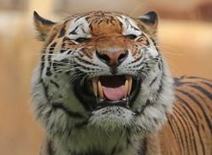 amurtiger Taymir Ouwehand 094A0657 (j.a.kok) Tags: animal asia azie amurtiger amoertijger siberischetijger siberiantiger tijger tiger ouwehands ouwehandsdierenpark zoogdier dier mammal cat kat taymir colina