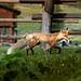 Montana Fox