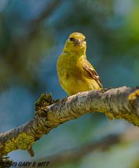American Goldfinch (orencobirder) Tags: songbirds finches birds flickrexport