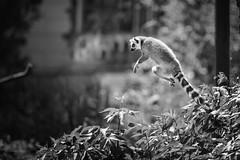 He can do it... (Soren Wolf) Tags: lemur lemurs animal animals jump air bushes acrobatic agile zoo nikon d750 300mm