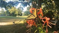 020 (dwheel41) Tags: tiger lillies orange bloom butterfly yellow monarch flower flowers
