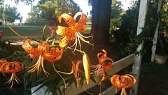 040 (dwheel41) Tags: tiger lillies orange bloom butterfly yellow monarch flower flowers
