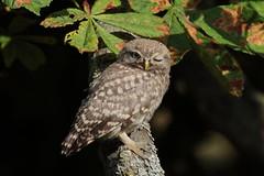 What a winker (Hammerchewer) Tags: littleowl owlet juvenile fledgling bird wildlife outdoor