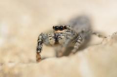 Marpissa mucosa (female) (willjatkins) Tags: animal nature wildlife arachnids arachnid spider arachnidsofeurope europeanwildlife wildlifeofeurope spidersofeurope europeanspiders salticidae jumpingspider marpissa marpissamucosa britishwildlife britisharachnids britishspiders ukwildlife ukarachnids ukspiders hertfordshirewildlife hertfordshirespiders closeupwildlife closeup macro macrowildlife nikond610 nikon sigma105mm extensiontubes eyes