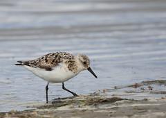 Becasseau sanderling (Michel Idre - 9 millions de vues merci) Tags: oiseau bird aves espagne deltadelebre becasseausanderling