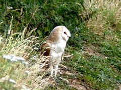 Barn Owl 14.7.19 (ericy202) Tags: barn owl resting roadside verge grass
