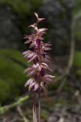 Corallorhiza striata (ab_orchid) Tags: native orchid species corallorhiza striata ontario alberta nativeorchidconference