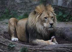 Wuppertal - Zoo (Michael.Kemper) Tags: 6 canon eos d ef 6d 100400 germany deutschland zoo is north lion 45 ii f 400 nrw l 100 usm wuppertal garten nordrheinwestfalen 56 löwe westfalen nordrhein zoologischer rhinewestphalia f4556 animal tier cat katze wuppertaler