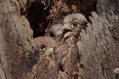 Cosy siblings (Hammerchewer) Tags: kestrel falcon nestlings nest bird wildlife outdoor
