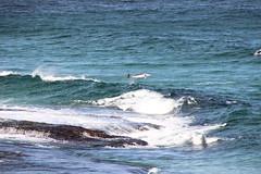 Dolphin, Coogee, Australia (Dama Suerte) Tags: sydney australia oz sydneyharbourbridge coogee dolphin manly manlybeach coogeebeach aquarium travel photography