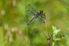 dragonfly on twig (runningman1958) Tags: nikon d7200 nikond7200 ottawariver dragonfly insect bug