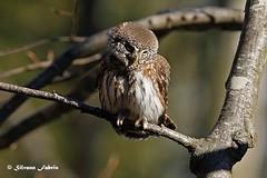 Civetta nana - Pygmy owl (silvano fabris) Tags: natura nature canonphotography wildlifephotography rapacinotturni uccelli birds animals animali pygmyowl civettanana