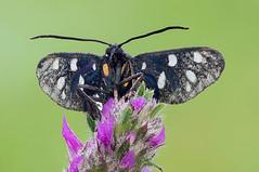 Amata sp. (Cristian Arghius) Tags: sonynex6 olympuszuikoauto11macro80mmf4 olympustelescopicautotube65–116 rrstp243tripod arcaswisscubetripodhead zerenestacker macro naturallight focusstack insect moth amatasp