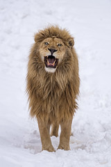Zumba in the snow, with open mouth (Tambako the Jaguar) Tags: lion big wild cat white male standing posing portrait openmouth snow winter cold siky park zoo crémines switzerland nikon d5
