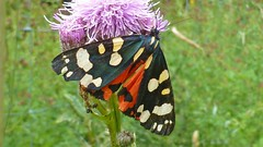Scarlet Tiger Moth, West Wood, Nr Winchester, England (east med wanderer) Tags: england hampshire winchester westwood moth scarlettiger callimorphadominula wildlife insect