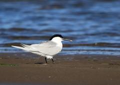 Sterne caugek (Michel Idre - 9 millions de vues merci) Tags: oiseau bird aves espagne deltadelebre sternecaugek