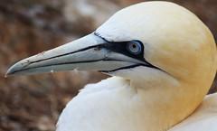 Schau mir in die Augen... (♥ ♥ ♥ flickrsprotte♥ ♥ ♥) Tags: helgoland basstölpel vogel natur felsen lummenfelsen nordsee insel flickrsprotte canon650d