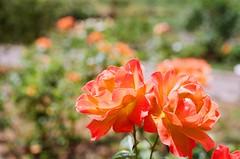 000670860030 (nautical2k) Tags: olympusom2n lomography400 film 35mm california oakland marcom rose garden