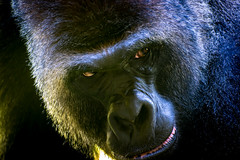That Stare (PasDave770) Tags: gorilla zoo omaha