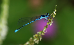 Damselfly (na_photographs) Tags: libelle azurjungfer insect insekt