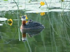 La Ronge 08July19.01 (Pervez 183A) Tags: laronge redneckedgrebe baby lake chick saskatchewan canada sk birds