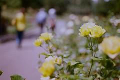 000670860024 (nautical2k) Tags: olympusom2n lomography400 film 35mm california oakland marcom rose garden