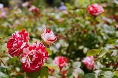 000670860031 (nautical2k) Tags: olympusom2n lomography400 film 35mm california oakland marcom rose garden