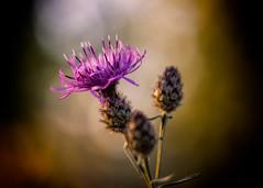1_1 (KRR_3) Tags: sony a6000 nex sel50f18 flowers dof bokeh