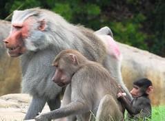0457ex male, female & baby Hamadryas baboons (jjjj56cp) Tags: baboons hamadryasbaboons primates oldworldmonkey sandiegozoo male female baby foraging closeup fur details profile p1000 coolpixp1000 nikoncoolpixp1000 jennypansing sacredbaboons onemaleunit