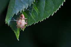 Hanging around (PeteMartin) Tags: flower garden insect leaf nature spider summer web amstelveen netherlands