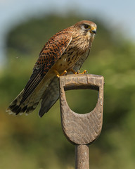 Kestrel (& fly) (waynehavenhand1) Tags: post nature wild wildlife bird prey raptor female kestrel