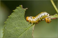 Larve de tenthrède - fausse chenille (Jacqueline Al.) Tags: argeochropus hyménopthère tenthrède faussechenille