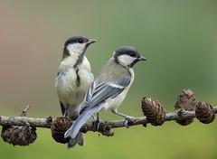 Koolmees, Great Tit (Henk Laverman) Tags: koolmees greattit tak bosvogel bird