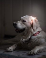 Morning light pink glow #althea ⚡️#goldenretrievers (Alex Beattie) Tags: althea golden dog california westlake artisanbrandingcom