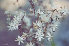 Dreamy (Arisu Saktos) Tags: flower garden macro close up nikon dreamy fade