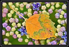 """Hydrangea Veins...""  -- MACRO MONDAYS - 15.07.19 - ""Patterns in Nature"" (NikonShutterBug1) Tags: macro closeup nikond7200 macromondays tokina100mm spe smartphotoeditor flower flora bokeh patternsinnature leaf hydrangea"