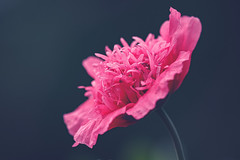 Feathered Poppy (VintageLensLover) Tags: mohn pink blume natur outdoor dof schärfentiefe schärfeverlauf bokeh bokehlicious mohnblume gefiedert