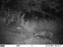Fox & Badger 1 (Bassman99) Tags: blackisle scottishwildlife bushnell