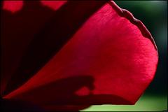 Rose - 196/365 (Frank PRAT) Tags: patternsinnature macromondays fleur flower frankpratphotographie rose ombre shadow theflickerlounge nature