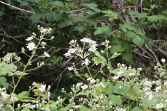 Canadian Swallowtail (Mïk) Tags: oceanshoreswa local myneighborhood washington grandcanalwalk grandcanal moth butterfly insect bug plant