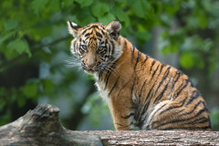 Nachwuchs bei den Sumatra-Tigern (Petra Güldner) Tags: tiger zoorheine sumatratiger tigernachwuchs