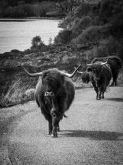 A highland traffic jam (http://www.paradoxdesign.nl) Tags: highlander cow heavy traffic highlands scotland schottland ecosse schotland uk visit traval olympus mft micro four third 43