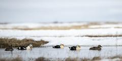 King Eider (karenmelody) Tags: bird birds animal animals alaska duck anatidae anseriformes usa unitedstatesofamerica ducks kingeider vertebrate vertebrates salcha somateriaspectabilis nearbarrow