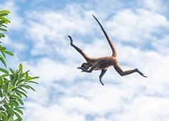 Leap of faith (5 of 5) (tickspics ) Tags: centralamerica osapeninsula newworldmonkeys geoffroysspidermonkey southernpacificlowlands bosquedelcabo costarica atelesgeoffroyi atelidae blackhandedspidermonkey golfodulce iucnredlistendangered mammalia platyrrhini primates pacificcoast southpuntarenas tropicallowlandrainforest sspornatus